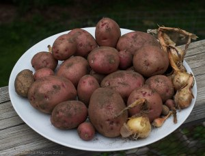 Red potatoes harvested from a grow bag on a large dinner plate
