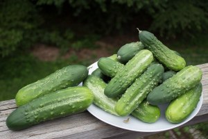 Pickling cucumbers awaiting canning. Most of these are between 4-6 inches