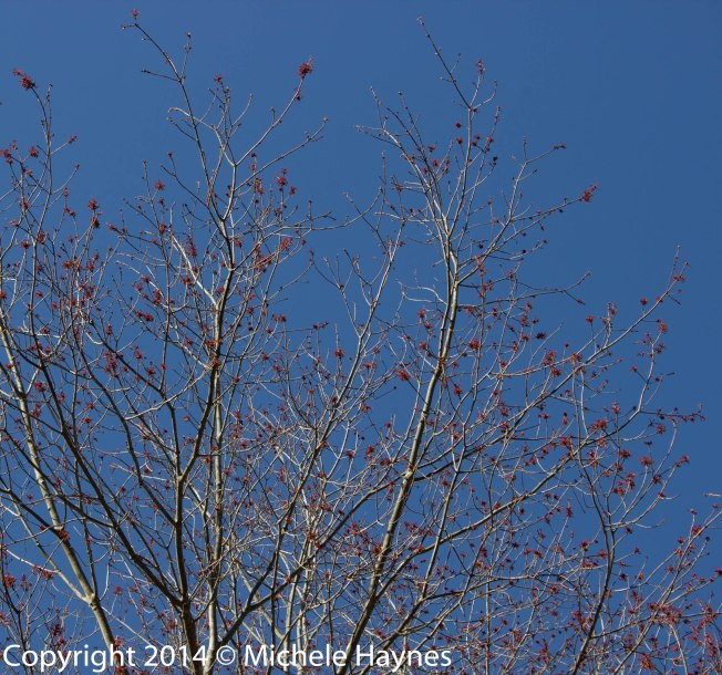 Red maple leafing out