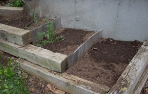 Terraced bed sown with Lemon squash. A couple of cilantro plants, a single onion, and what looks like a wild carrot.
