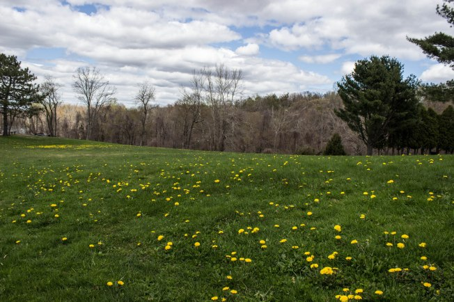 Middletown, Connecticut. Spring dandelions.