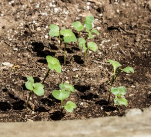 French radish seedlings