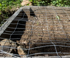 Sweet corn bed protected by welded wire -- keeping pets and visitors out