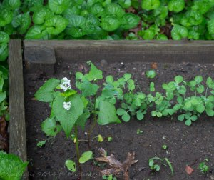 Even more snow peas and buckwheat with the white flowers