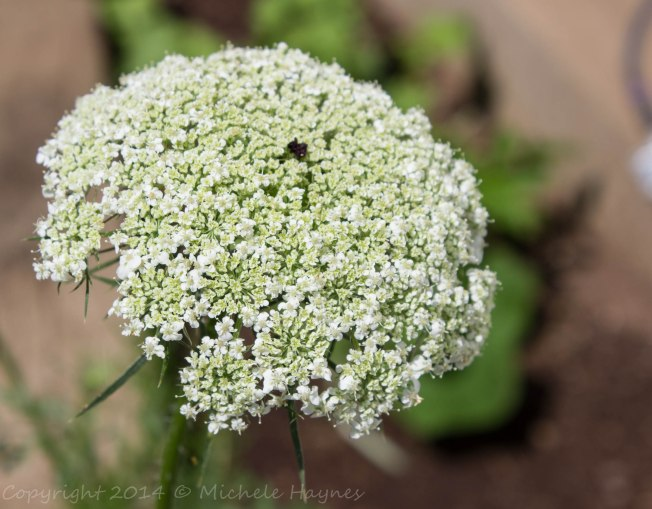 Wild carrot or Queen Anne's Lace growing in my terraced bed. Great for attracting pollinators and butterflies.