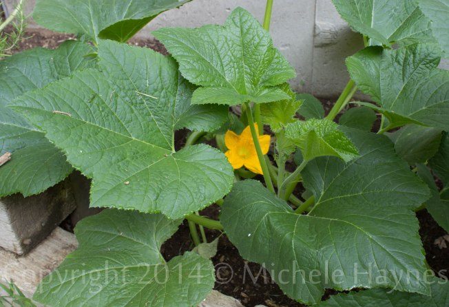 Lemon squash plants blooming in terraced garden.