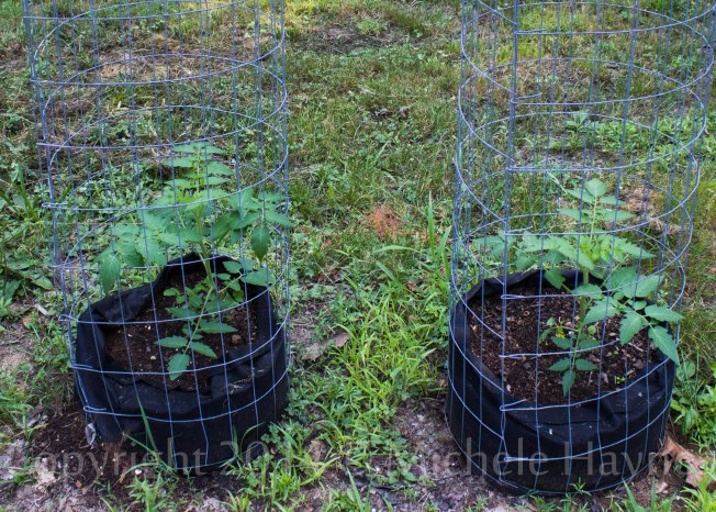Tomatoes in grow bags beside driveway are finally taking off. Now to see if they have time to actually produce any tomatoes before cold weather arrives.