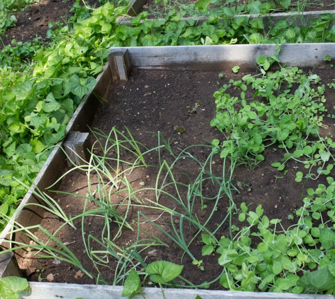 Red onions (left), snow peas (right) and newly sown spinach in the open space
