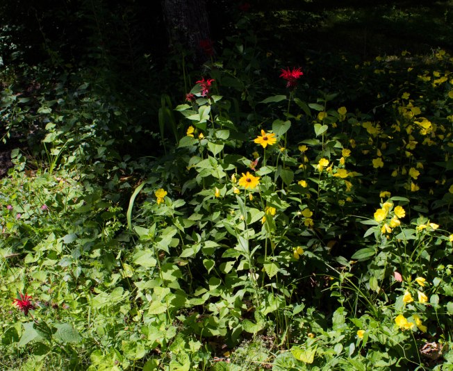 Brown-eyed Susan, Evening Primrose and Bee Balm