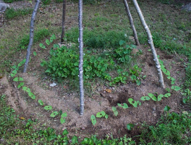 Bean teepee is hosting Trail of Tears black beans this year. These germinated 3 days ago.