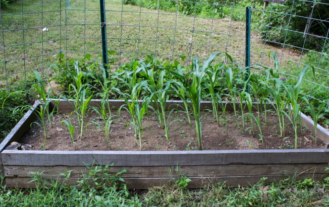 Heirloom sweet corn is doing very well so far. Fingers and toes crossed that it continues to thrive and gives us a decent harvest. I have over 50 plants in that single raised bed.