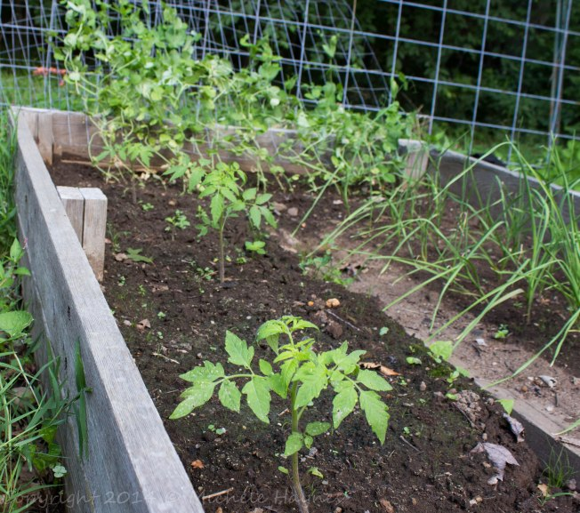 Moskovich tomato plants on left, garlic on right and snow peas growing on welded wire trellis on end of bed.