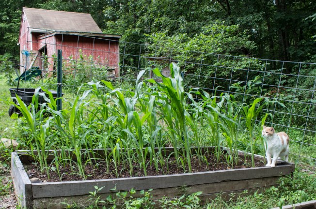 Heirloom sweet corn loving the top dressing of compost and rain we've had the last two days. I had to chase Sam, our old man, out of the garden. No cats allowed!