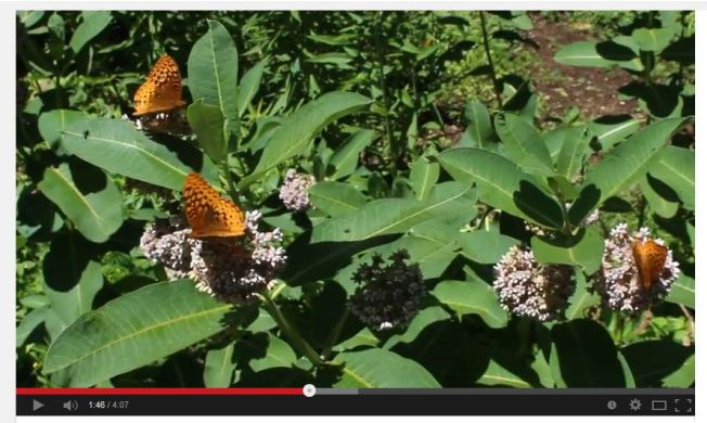 Common milkweed attracting butterflies and other insects