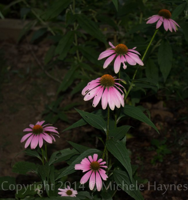 Purple coneflower waiting for the sun to come up