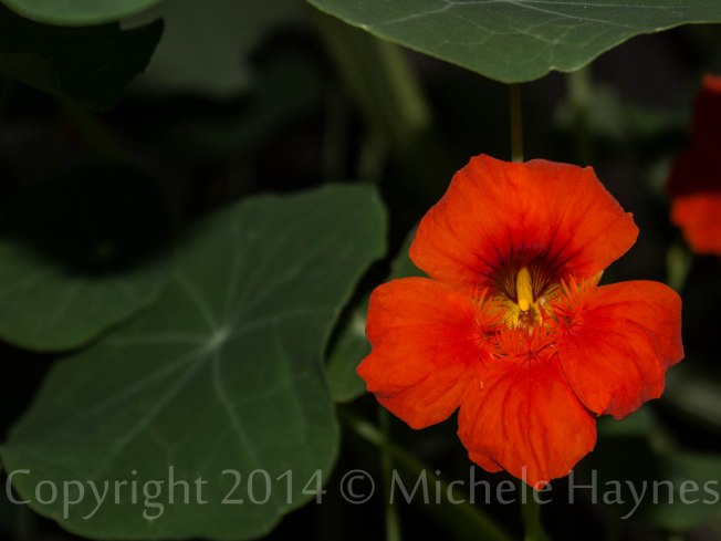 Giant nasturtium is an edible plant, flowers and leaves. So fragrant, too!
