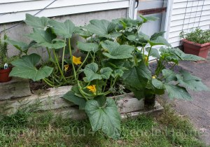 Lemon squash plants getting ready to spill over into the yard