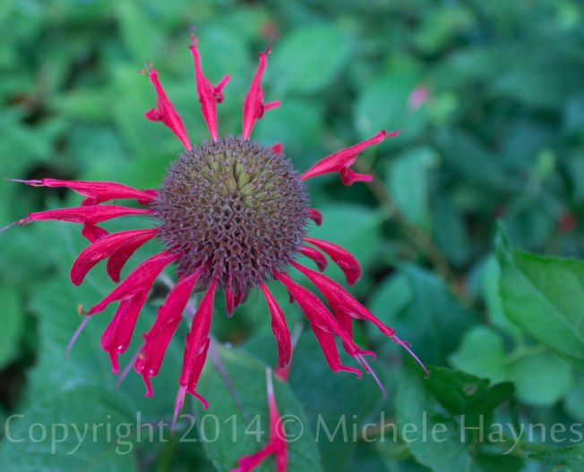 Bee balm seeds forming, last petals falling off