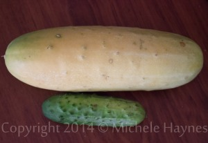 Mature pickling cucumber harvest last fall compared to a 4-inch pickling cucumber harvested for eating and pickle-making.