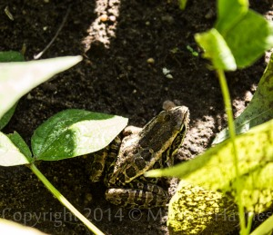 I love my frog and toad friends who live in my garden. Great for natural pest control.