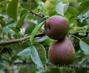 Pear harvest will be small. Fruit is small and numbers are few. I have decided to made pear vinegar with most of the fruit. I am still enjoying last year's pear vinegar and would like some to share at Christmas.