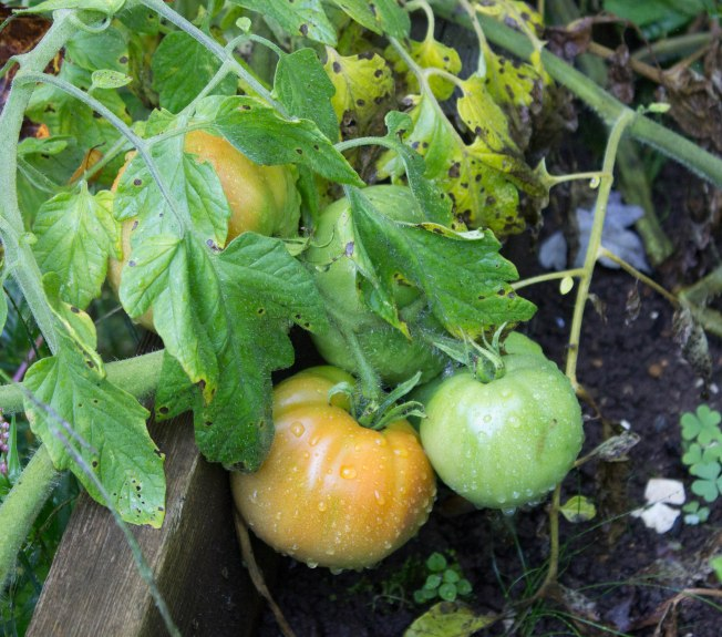 Moskovich tomatoes finally ripening. These two have since been harvested, ripened, and sliced for sandwiches. Yummy!