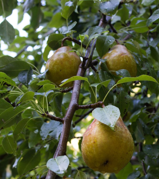 We had a week of decent rains and my pears plumped right up. They are juicy and oh, so sweet.  Crop was very small this year, though. Probably only 20 pounds total?