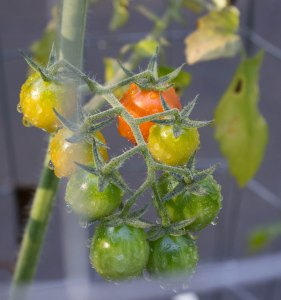 These tomatoes all cracked right before ripening due to dramatic soil moisture level changes.