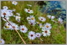 Wild asters in Connecticut