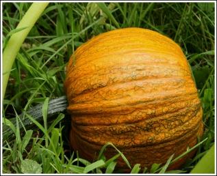 Sugar pumpkin ripening