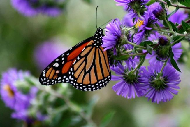 monarch_butterfly_insect_danaus_plexippus_on_purple_flower